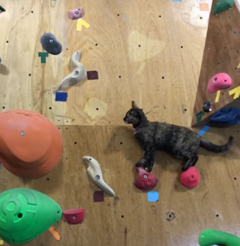 Climbing_kitty_at_bouldering_gym.png