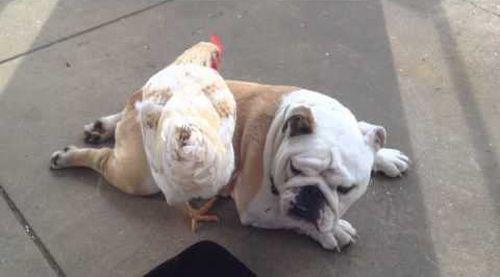 Cute_Bulldog_gets_a_chicken_back-scratch.jpg