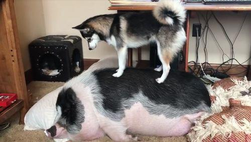 DOG_TRIES_TO_WAKE_UP_SLEEPING_PIG.jpg