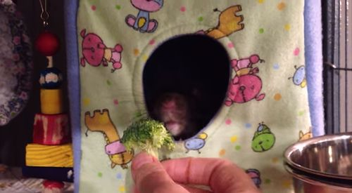 Dexter_the_rat_hates_broccoli.jpg