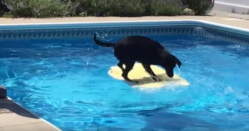 Dog_balances_on_bodyboard.png