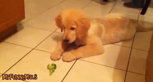 Dogs_vs_Broccoli.jpg