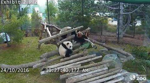 Giant_Panda_Cub_Fall_Compilation.jpg