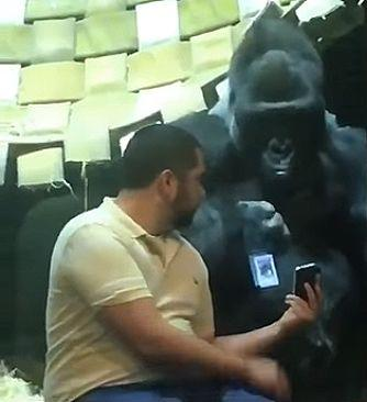 Guy_shows_gorilla_photos_on_his_phone.jpg