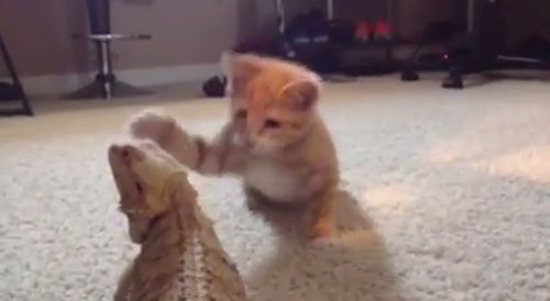 Kitten_and_Bearded_Dragon.jpg