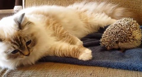 Kitty_sits_on_hedgehog.jpg