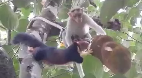 Monkey_vs_Indian_Giant_Squirrel.png