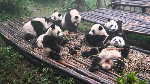 Pandas_having_breakfast.jpg