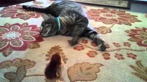 Pippie_the_cat_meets_baby_chick.jpg