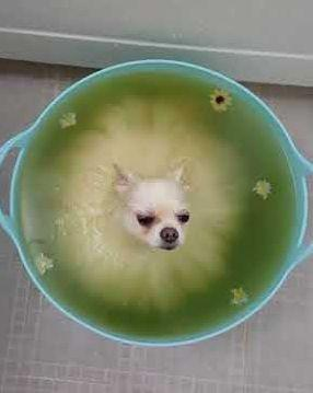 Pomeranian_Relaxes_in_Bath.jpg