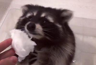 Raccoons_and_cotton_candy.jpg