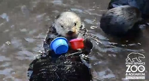 Sea_Otter_stacks_cups.jpg