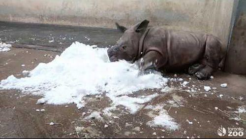 Toronto_Zoo_White_Rhino_Calf_Meets_Snow.jpg