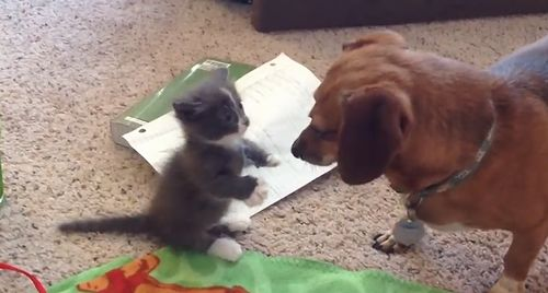 Wiener_kitten_meets_wiener_dog.jpg