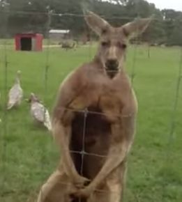 Kangaroo_on_steroids.jpg