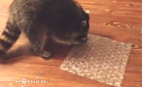 Raccoon_Popping_Bubble_Wrap.jpg