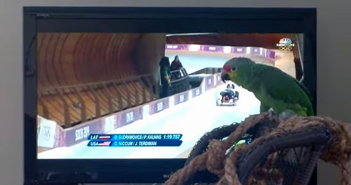 Parrot_Cheers_Luge_Teams.jpg