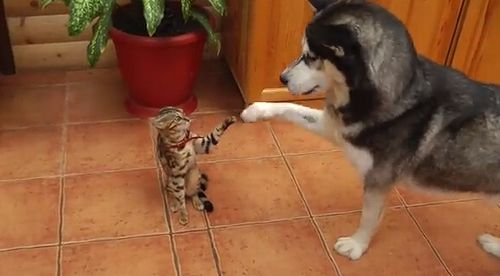 hasky_meets_cat.jpg