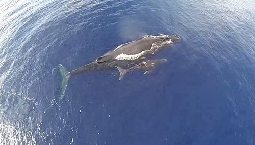 Humpback_Whales_in_Maui_From_a_Drone.jpg