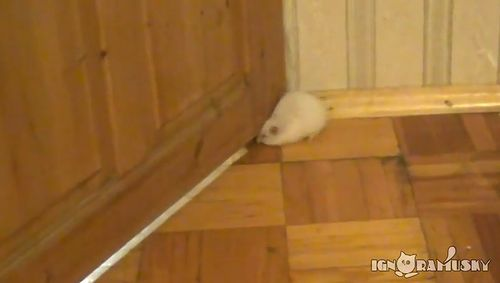 Fat_hamster_and_door_gap.jpg