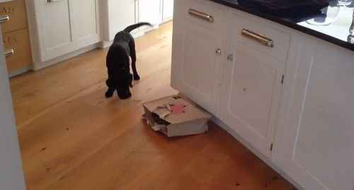 Puppy_Black_Labrador_gets_a_surprise.jpg