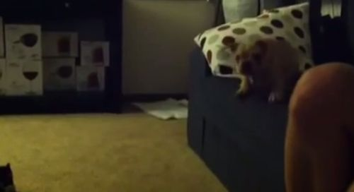 French_bulldog_puppy_takes_a_leap_of_faith.jpg