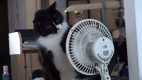 The_fan_attacking_cat.jpg