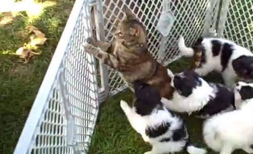 cat_gets_overwhelmed_by_puppies.jpg