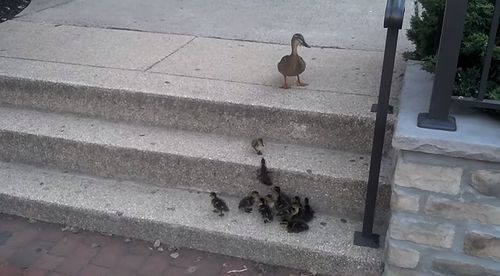 duckling_and_stairs.jpg