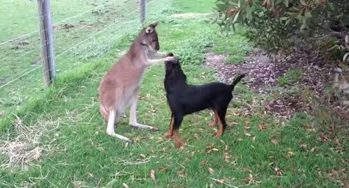 Kangaroo_and_Dog.jpg