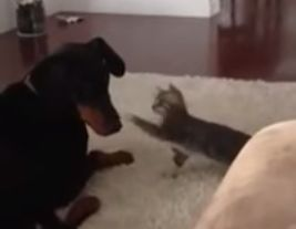 Doberman_doesnt_want_to_deal.jpg