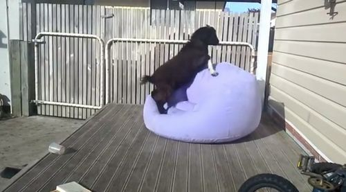 Goat_attempts_to_balance_on_blow_up_chair.jpg