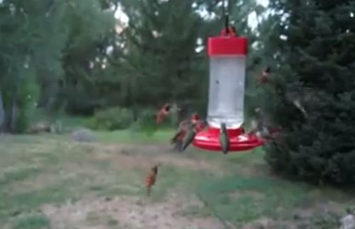 Hummingbird_infestation.jpg
