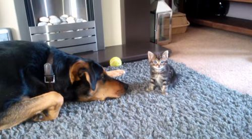 New_Zealand_Huntaway_Dog_and_Kitten-Kobi.jpg