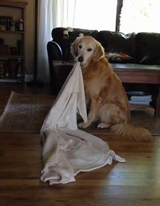 Golden_Retriever_takes_his_favorite_blanket_everywhere.jpg