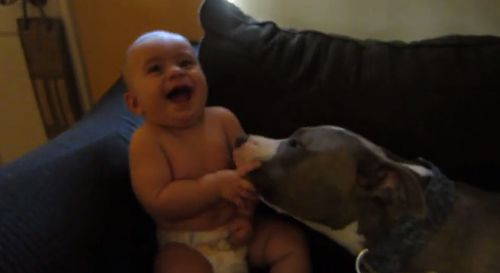 Pit_bull_gives_adorable_baby_a_laugh_attack.jpg