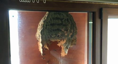 Huge_wasp_nest_in_my_window.jpg