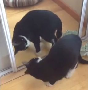 Cat_looks_in_mirror.jpg