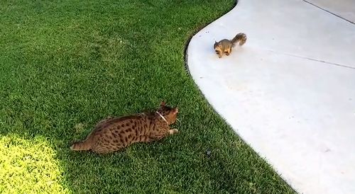 Squirrel_Chases_Cat.jpg