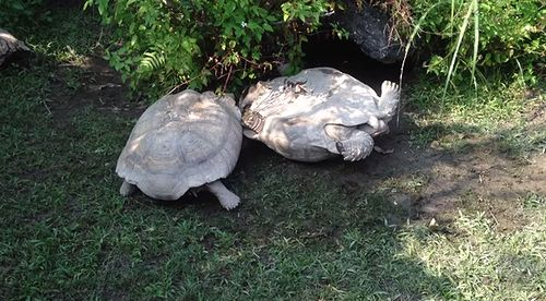 Kind_tortoise_helps_its_overturned_friend.jpg