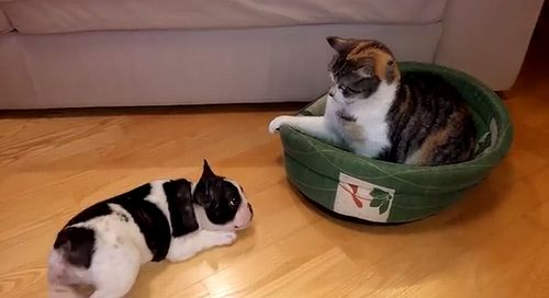 French_bulldog_puppy_vs_cat.jpg