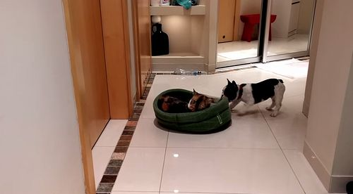 French_Bulldog_Puppy_Gets_His_Bed_Back.jpg