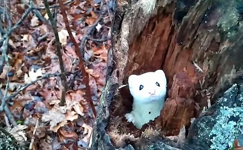 Ermine_in_a_Tree.jpg