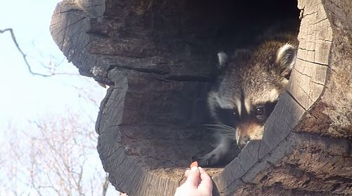 cute_raccoon_slowly_stretches_out.jpg