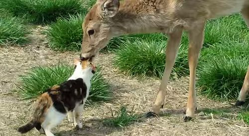 Cat_and_Whitetail_Deer.jpg