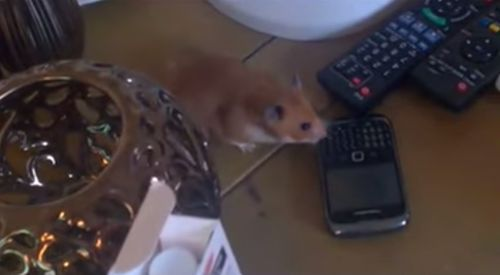 Harvey_Hamster_Taking_Mobile_Phone.jpg