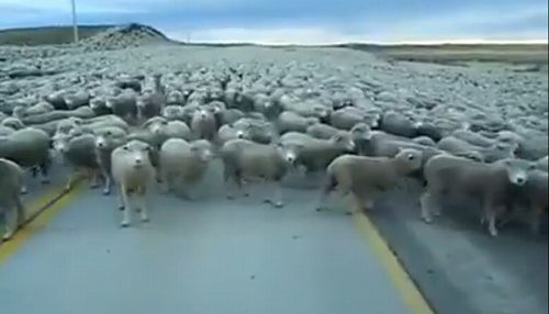 Thousands_Of_Sheep_Block_Road_in_Chile.jpg