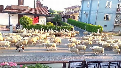 Several_sheep.png