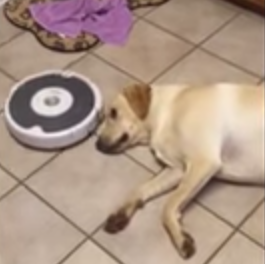 Roomba_vacuum_cleans_the_floor_around_lazy_dog.png