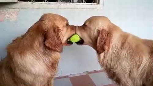 Dogs_Play_Tug.png
